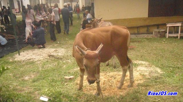 ditengah riuh ramai orang-orang menyaksikan penyembelihan terlihat satu ekor sapi bersedih