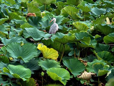 Blue heron: Tsurugaoka-hachimangu