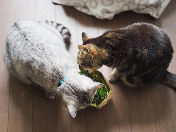 猫草を食べる2匹を上から撮影