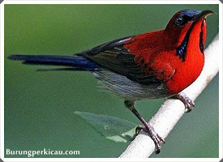Cara merawat burung kolibri ninja yang baik dan benar