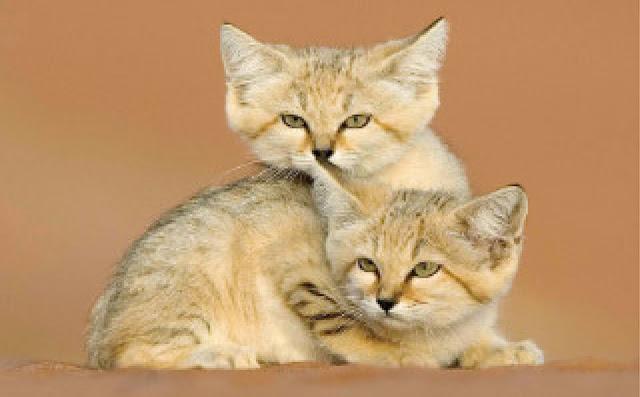 تعبير كتابي عن قط الصحراء بالفرنسية