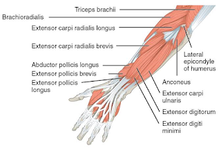 anconeus muscles- by www.learningwayeasy.com