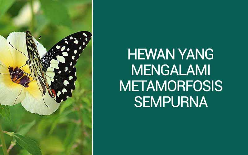 Hewan Yang Mengalami Metamorfosis Sempurna