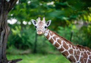 Giraffles!