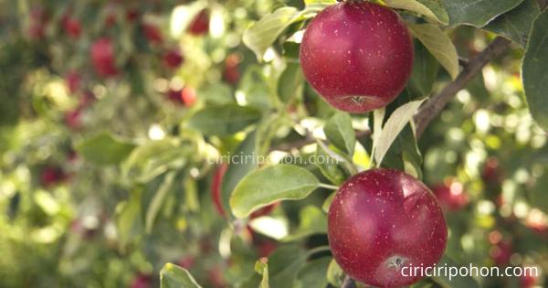 Penyakit Yang Menyerang Pohon Apel Dan Cara Mengatasinya Ciriciripohon Com