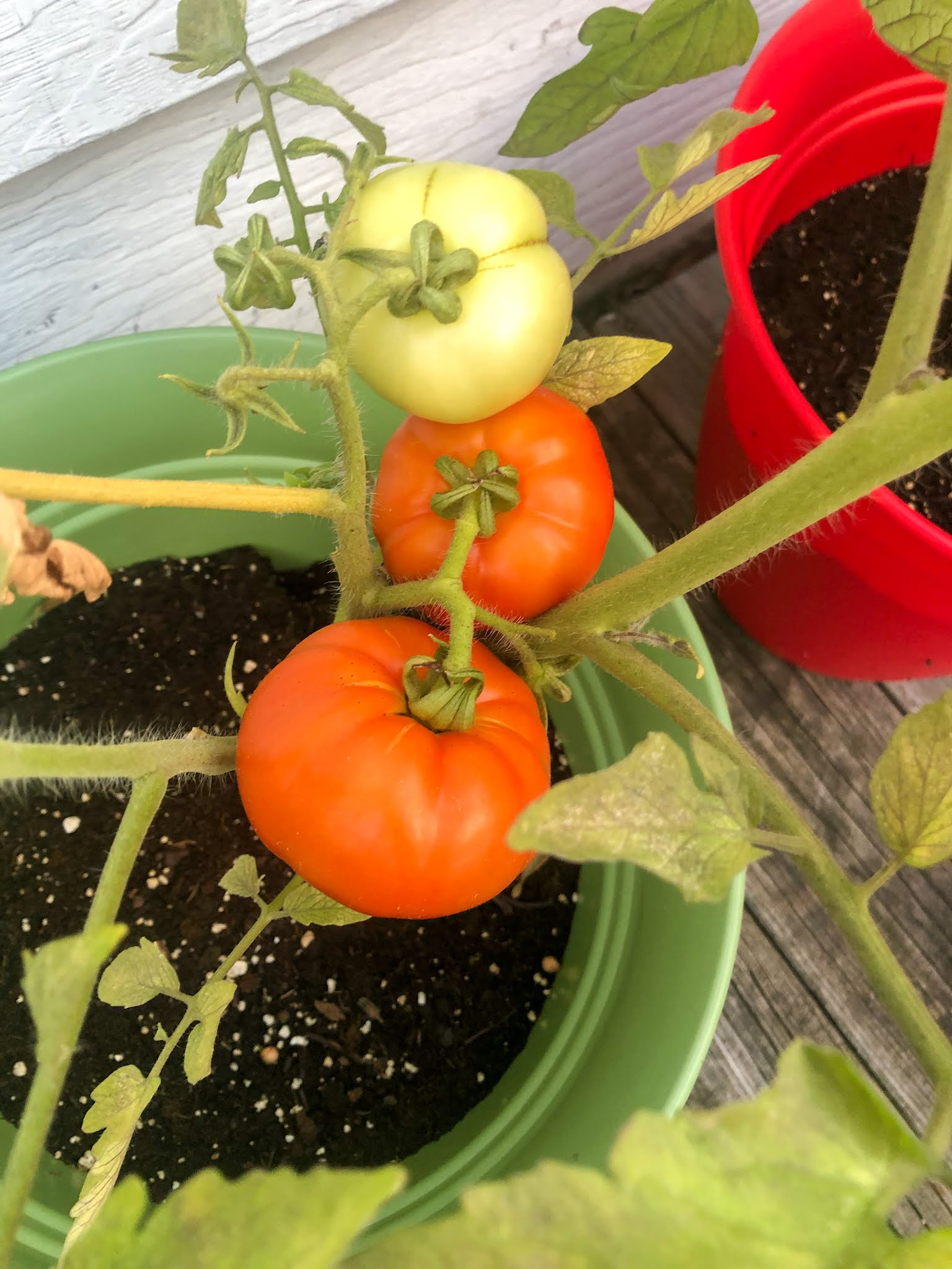 Two red tomatoes in a pot, one green