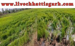कोनारी में जंगली हाथी ने मचाया उत्पात | किसानों की फसल एवं तार घेरे को पहुंचाया नुकसान Konari me jangli hathi