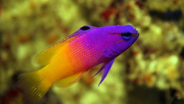 Ikan hias air laut jenis dottyback