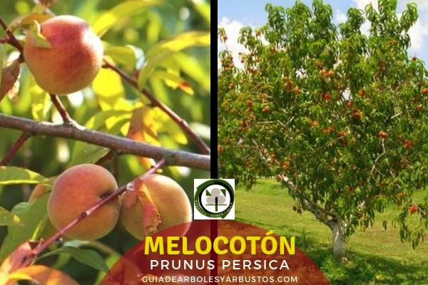 El melocotón, Prunus persica, es un árbol pequeño y retorcido nativo del oeste de China y Persia