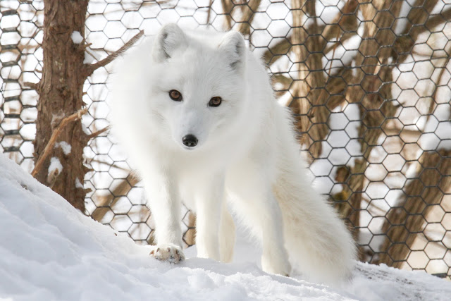 Arctic Fox by Mark Dumont from flickr (CC-NC)