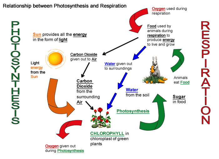 Why do we need plants akshay photosynthesis and cellular respiration are connected through an important relationship this relationship enables life to survive on this planet ccuart Gallery