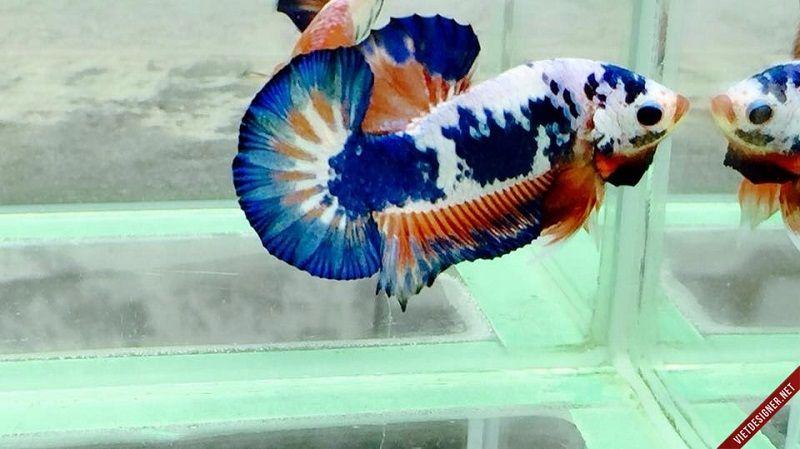 Image Fancy Blue Betta