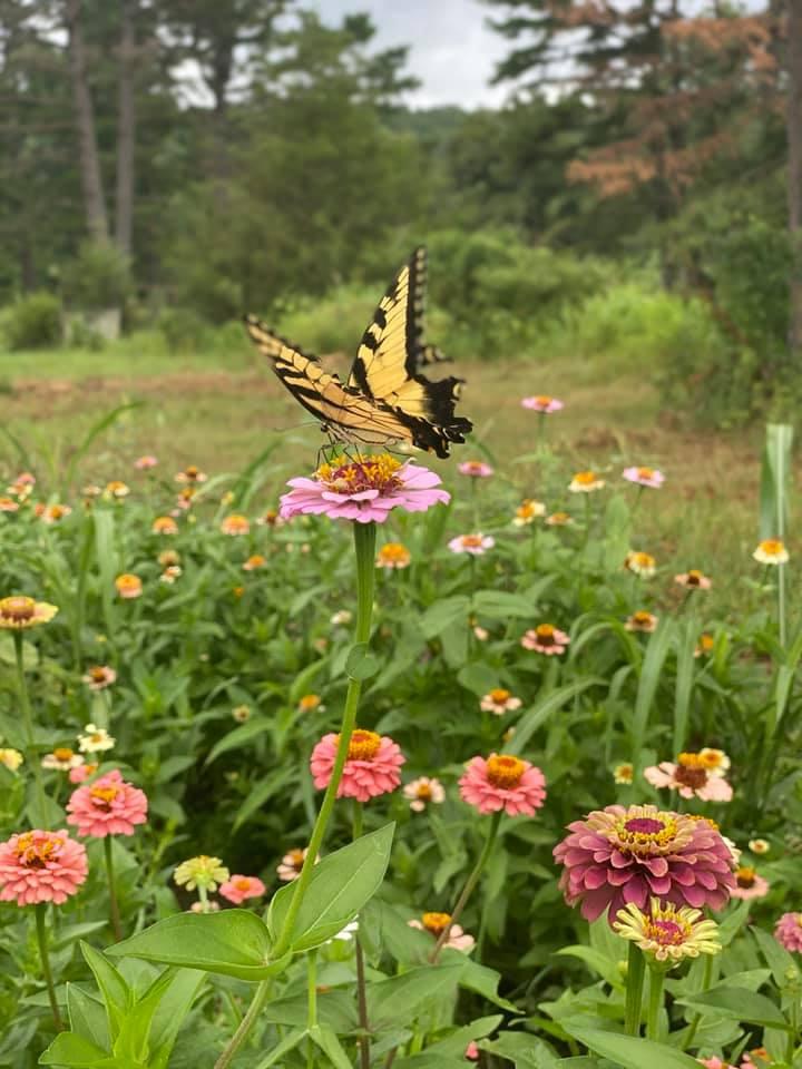 Zinnia Field Pollinator Butterfly