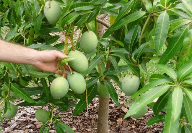 Agar Pohon Mangga Berbuah Lebat