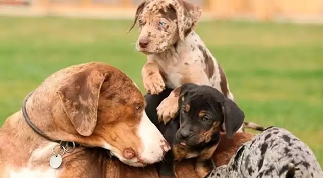 American Leopard Hound Dog Breed Info: Price, Characteristics, Aggressiveness & Facts