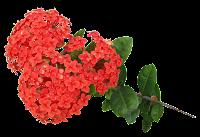 Flor Ixoria vermelha em png