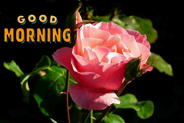 Awesome good morning image with pink rose flower