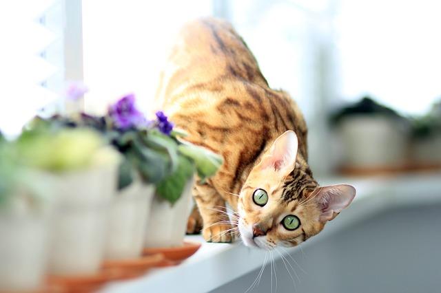 القطط البنغالية Bengal