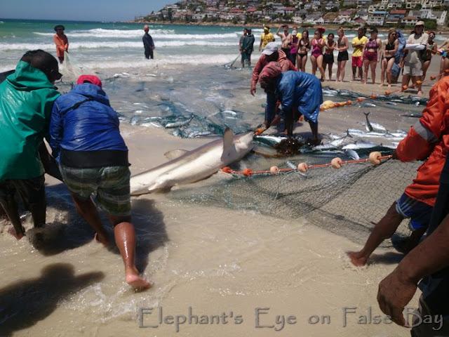 Trek fishermen releasing by-catch Bronze whaler shark