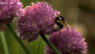 Bees on chive flowers