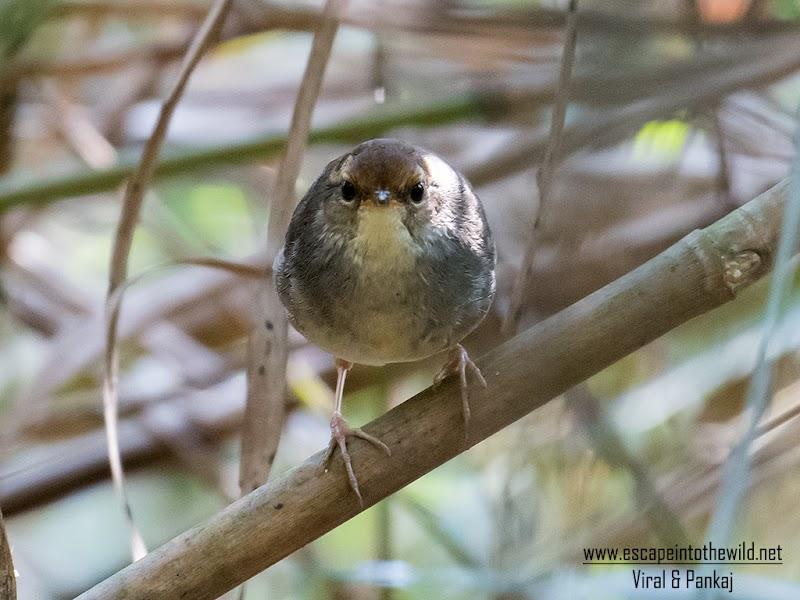 Chestnut-crowned Bush Warbler