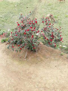 hoa hồng cổ sapa đẹp