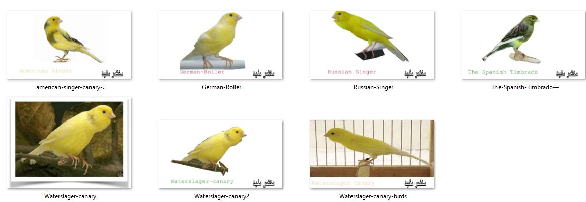 افضل 05 انواع طيور الكناري The Best Types Of Canaries الاستضافة