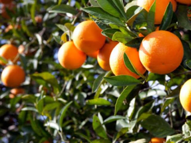 12,5 τόνους πορτοκάλια κατάφεραν να κλέψουν οι τρεις γυναίκες που συνελήφθησαν στην Αργολίδα