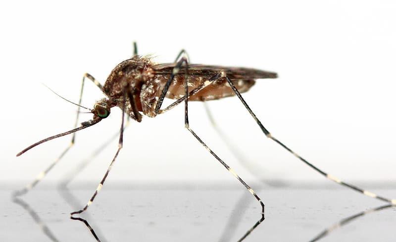 Does mosquito spread Coronavirus   Does Housefly spread Coronavirus