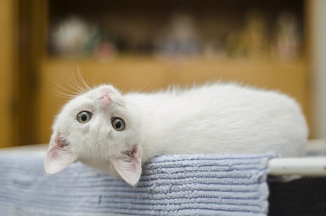 Cara Merawat dan Membesarkan Anak Kucing Tanpa Indukan Yang Baik dan Benar