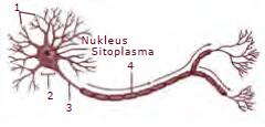 Soal no 43-45 tentang sel saraf