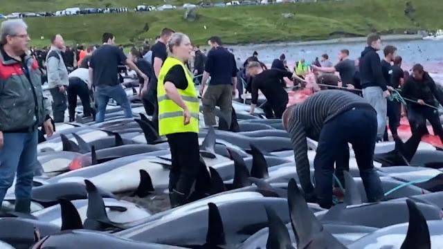 Душераздирающие кадры: На Фарерских островах убили около 1,5 тысячи дельфинов во время охоты