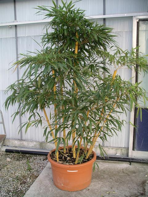 Bamboo Lamp Photo Bamboo In A Pot