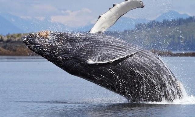 Γκρίζα φάλαινα θεάθηκε για πρώτη φορά στις ακτές της Γαλλίας στη Μεσόγειο – Δείτε βίντεο