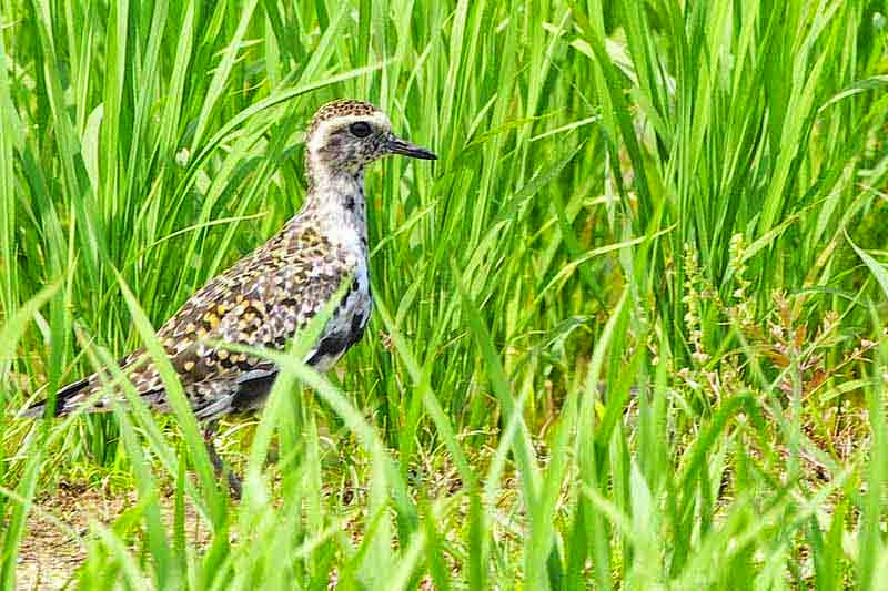 Pacific Golden Plover in field
