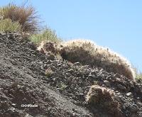 Cacti, Chile
