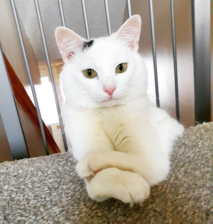 white cat sitting with its arms crossed