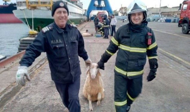 Ship with 14,600 sheep sinks in Midia Port of Romania
