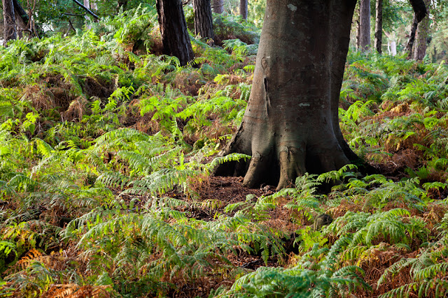 Brownsea Island woodland view of trees nestled among the fern covered floor