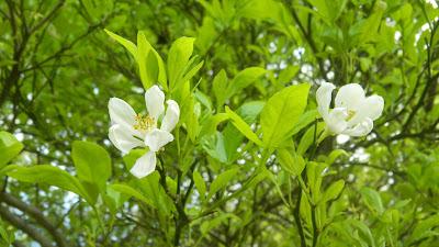 Citrus blossoms