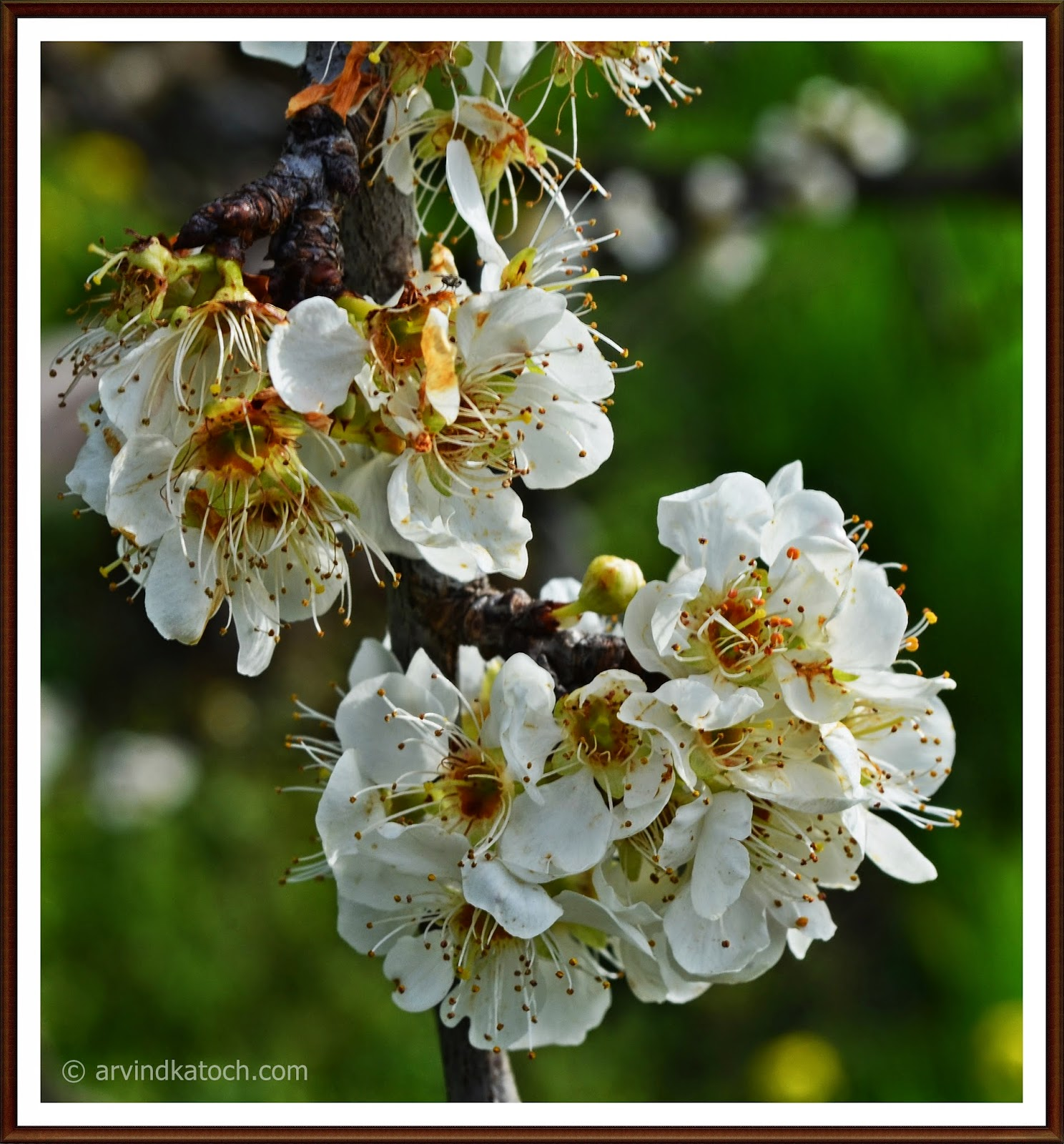 White Pear Flowers, Pear, Flower,