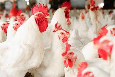 broiler chicken farming guide
