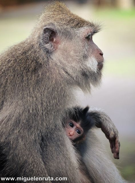 Little-monkey-Ubud