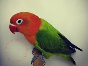 Ciri-ciri & Harga Lovebird Biola