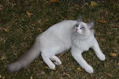 قطط الراغ موفن : Ragamuffin
