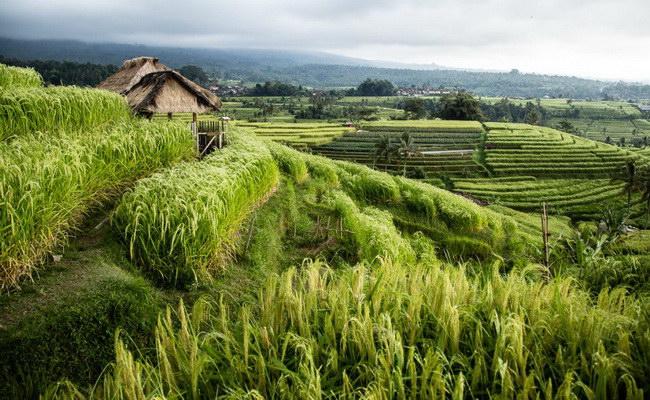 Xvlor Jatiluwih terraced rice field is Balinese farm by Subak system culture