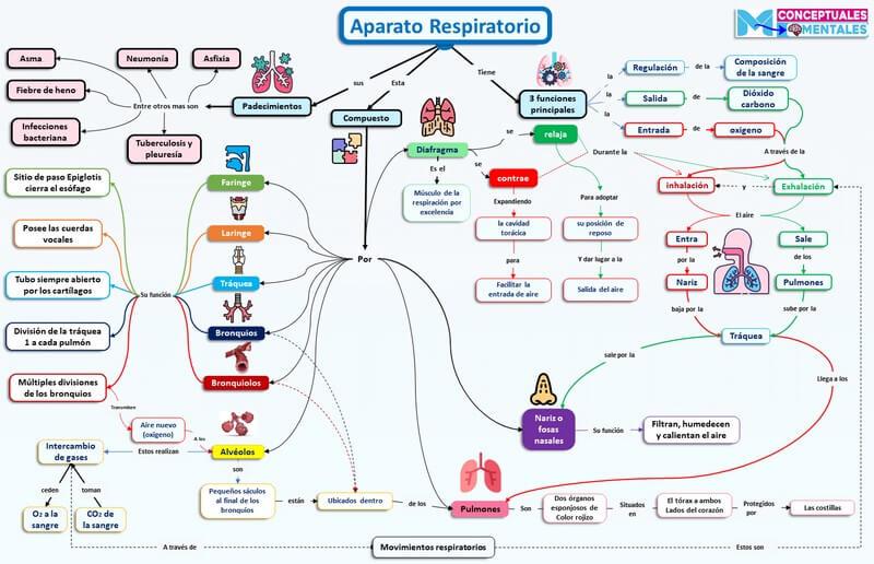 mapa conceptual del aparato respiratorio sus partes, funciones y padecimientos