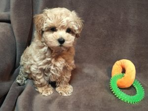 Maltipoo-vs-Shih-Poo-Apperance-How-they-look