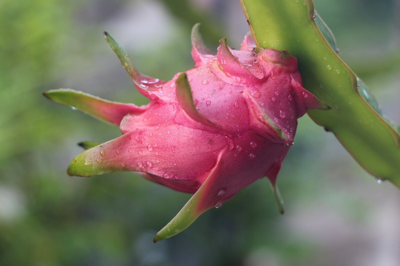 Cara merawat buah naga agar cepat berbuah