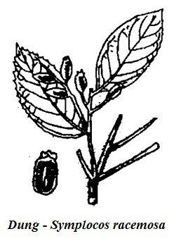Hình vẽ Cây Dung - Symplocos racemosa - Nguyên liệu làm thuốc Chữa Bệnh Tiêu Hóa